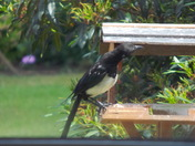 MAGPIE on bird table