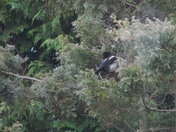 MAGPIE 1 MORE FOR SORROW