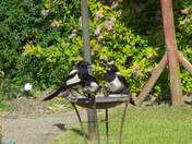 MAGPIE FAMILY meetin up on the Birdbath
