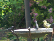 BLUETIT IN THE BIRDBATH