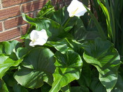 THE WHITE CALLA LILLY IN BLOOM