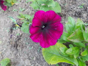 PETUNIAS- IN 1ST  FLOWER.