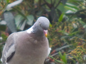 PIDGEON (Heads and Tails)