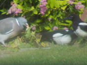 ON OUR BEST BEHAVIOURE. TWO MAGPIES IN A MEETING WITH A PIDGEON