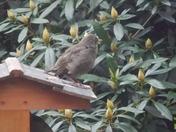 1st outing for a fledgling starling
