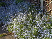 SPRING-forget-me-nots