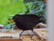 Blackbird ectasy in a november garden