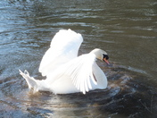 swans on the wensum part 1