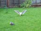 gulls in my garden