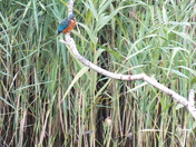 kingfisher,reedwarbler and dragonfly all in one shot