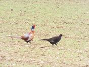 Melanistic pheasants
