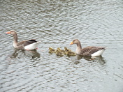 The goose family