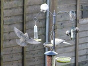 doves and starlings feeding