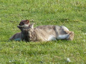 The stoat & the rabbit...  ( Pics of stoat catching a rabbit)