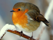 Robin in my Garden