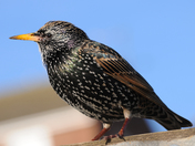 Starling sitting on the sand barriers at Gorleston Beach