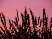 Silhouetted Zebra Grasses