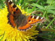 small tortoiseshell butterfly&peacock butterfly