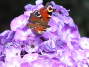 peacock butterfly on phlox