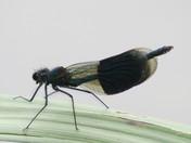 broad-winged damselflies