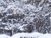 Snowy Barn Owl (and Sparrow Hawk!)