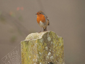 Friendly Robin in the countryside.