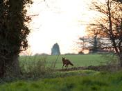 Winter Fox and squirel