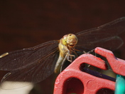 Washing line dragonfly returns