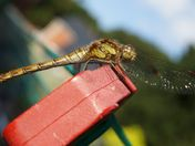 Washing line dragonfly
