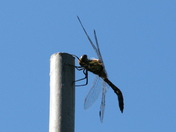 Dragonfly resting on a cane
