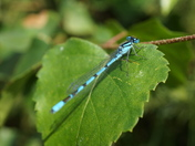 Common Blue Damselfly (three images)