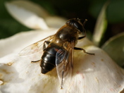 Hoverfly modelling shoot