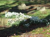 Snowdrops in Lowestoft Cemetery