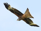 The magnificently graceful Red Kite.
