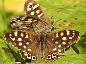 A Beautiful pair of Fritillary butterflies