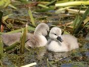 A beautiful Swan and Cygnets on the river Waveney.
