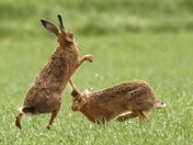 Boxing Hares early morning