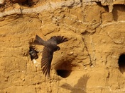 Sand Martins feeding there young.