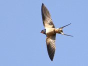 A beautiful Swallow at Minsmere this week.