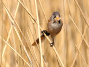 The Bearded Tits are Showing well at Minsmere this week.