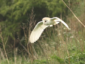A beautiful Barn Owl hunting on the water meadows at Fen Farm.