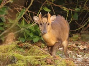 A beautiful little Muntjac at Minsmere enjoying a bit of late afternoon sun