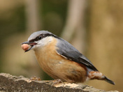 A beautiful Nuthatch from a visit to Strumpshaw fen.