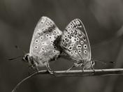 Copper Blue Butterflies