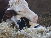 A beautiful little new born calf on boxing day