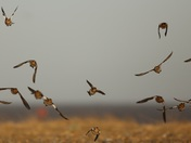 Action shots of Snow Buntings at Pakefield Lowestoft .