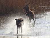 Deer having fun in the water at Minsmere .