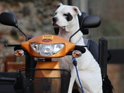 A beautiful Staffie guarding his owners scooter