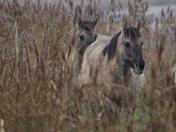 Beautiful Konik horses grazing at Minsmere