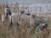 Beautiful Konik horses grazing at Minsmere
